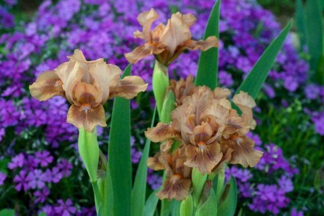 """Низкорослый ирис бородатый """"Зачарованный Мокко"""" (Iris 'Enchanted Mocha')"""