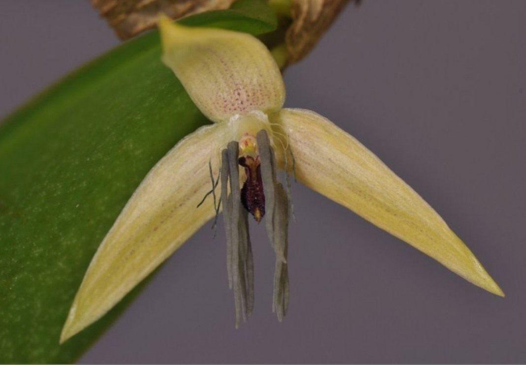 Bulbophyllum-nocturnum