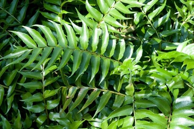Циртомиум серповидный (Cyrtomium falcatum)