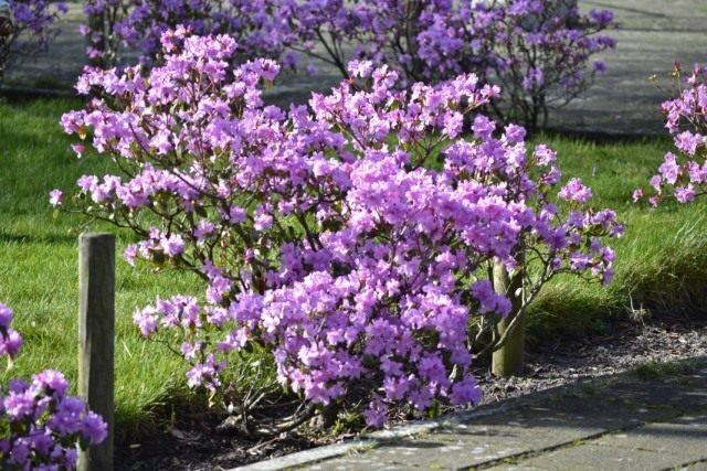 Волчеягодник обыкновенный, или смертельный, или Волчник обыкновенный, или Волчье лыко, или Волчьи ягоды, или Плоховец, или Пухляк (Daphne mezereum)