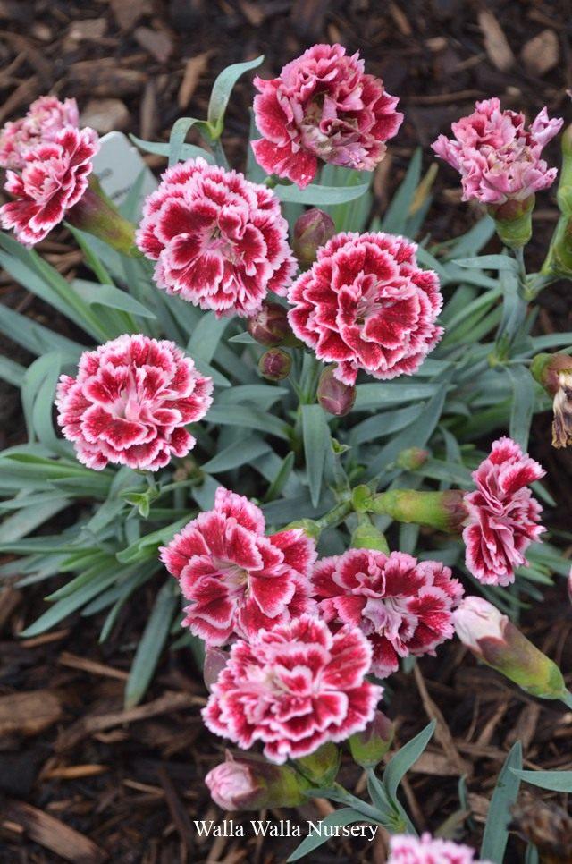 Dianthus-Sugar-Plum-003