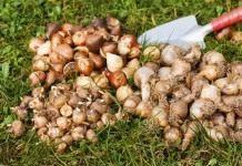 Летнее хранение луковичных