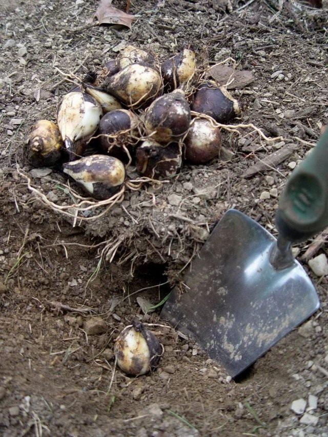 Летняя выкопка луковичных