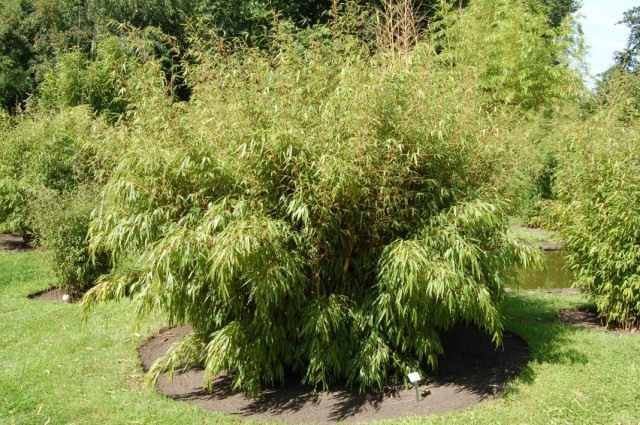 Кустистый бамбук Фаргезия дракоцефала, или Фаргезия змееголовая (Fargesia dracocephala)