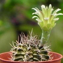 Гимнокалициум Михановича разновидность стеногонум (Gymnocalycium mihanovichii var. stenogonum)