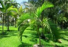 Арека желтеющая (Areca lutescens), или Гиофорба индика (Hyophorbe indica)