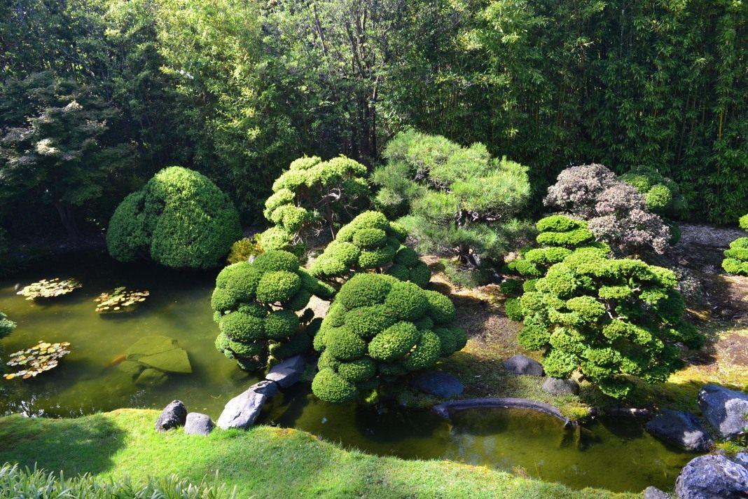 Декоративная японская вишня  укрась свой сад