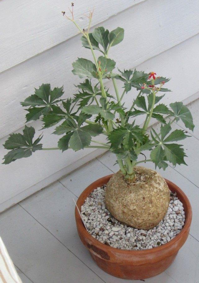 Ятрофа Берландиери (Jatropha berlandieri, сегодня классифицируется как вид Ятрофа катартика)