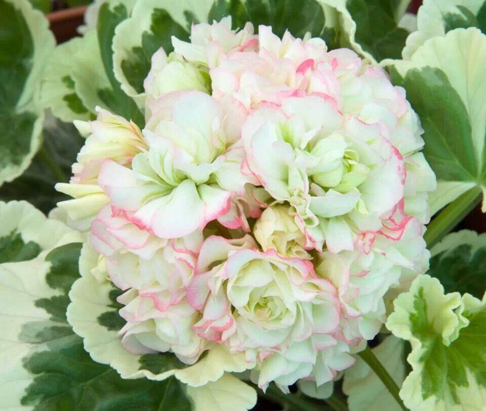 Pelargonium-Westdale-AppleBlossom-1