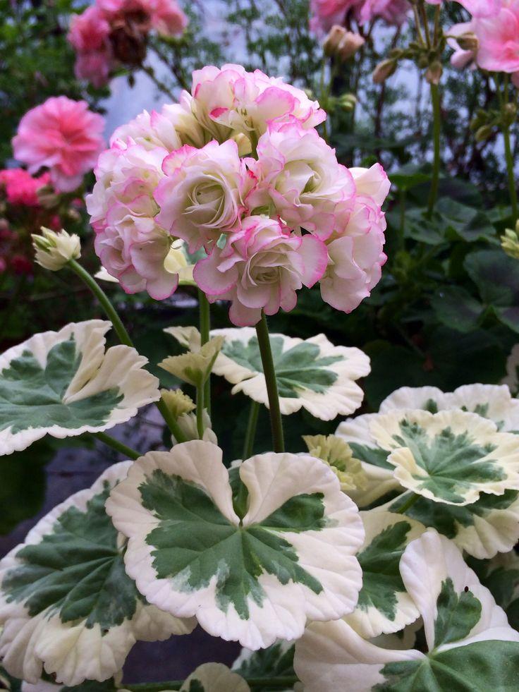 Pelargonium-Westdale-AppleBlossom-2