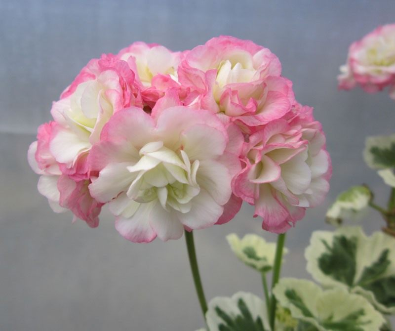 Pelargonium-Westdale-AppleBlossom-3