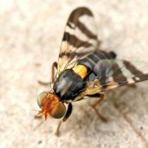 Вишнёвая муха (Rhagoletis cerasi)