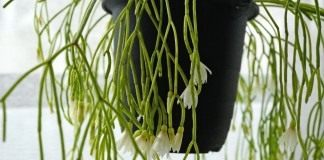 Рипсалис кампос-портоана (Rhipsalis campos-portoana)