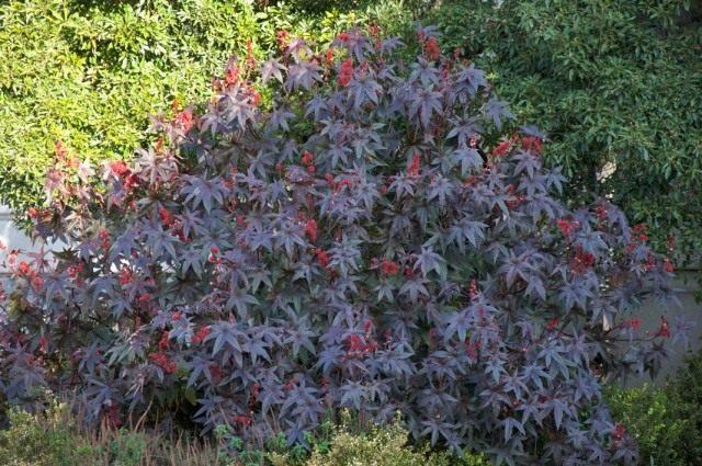 Клещевина (Ricinus communis)