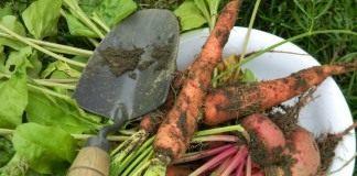 Сбор урожая в солнечный день понизит уровень нитратов в корнеплодах