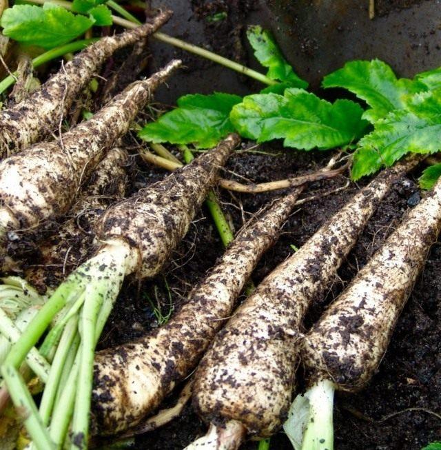 Выкопка корнеплодов в несколько заходов понизит содержание в них нитратов