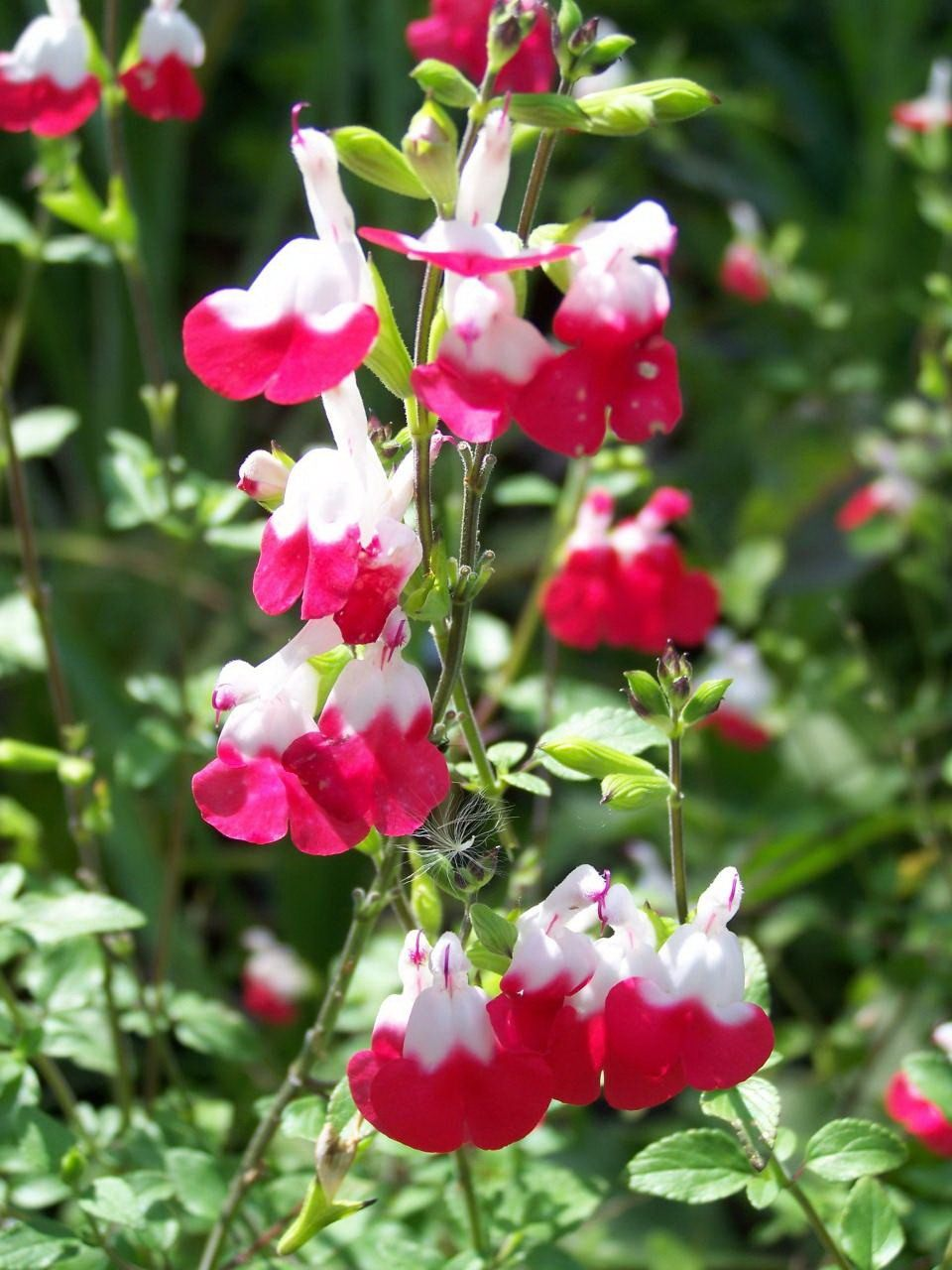 Salvia-jamensis-Hot-Lips-1
