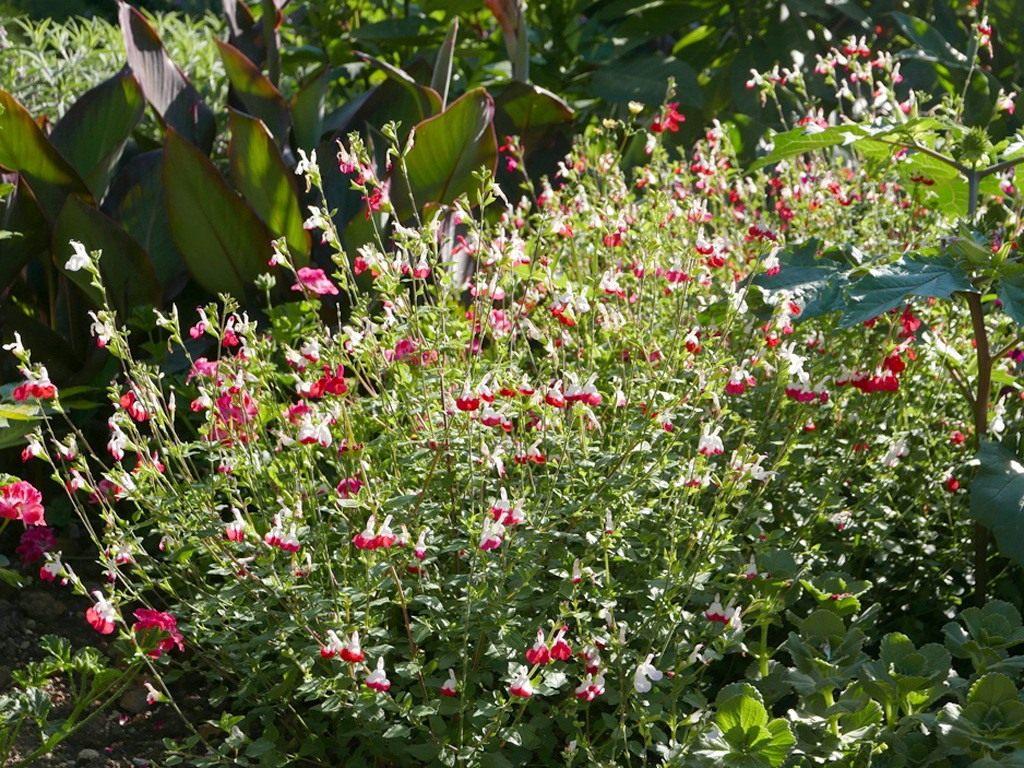 Salvia-jamensis-Hot-Lips-3