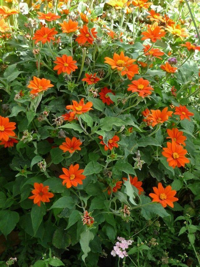 Титония круглолистная (Tithonia rotundifolia)