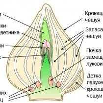 Схематичное изображение взрослой луковицы тюльпана, после закладки побега будущего года, но до закладки корней