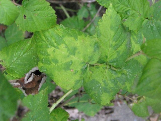 Вирусное заболевание на листьях малины
