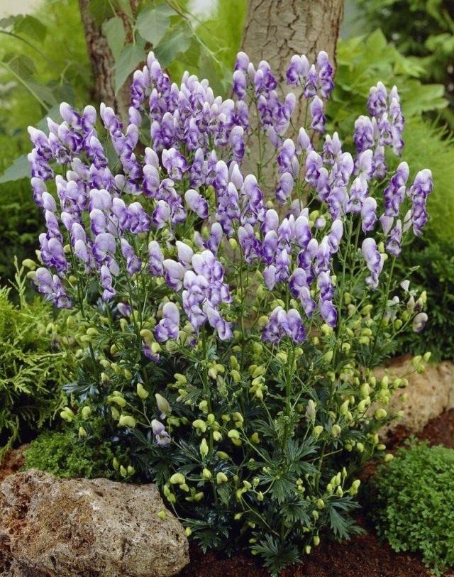 Аконит, или Борец садовый (Aconitum cammarum)