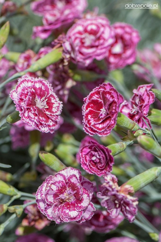dianthus-moulin-rouge-1