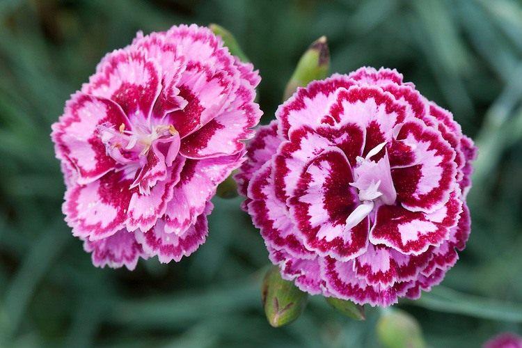 dianthus-moulin-rouge-2