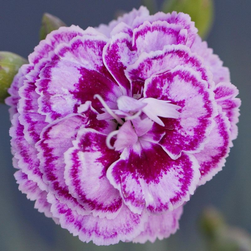 dianthus-moulin-rouge-3