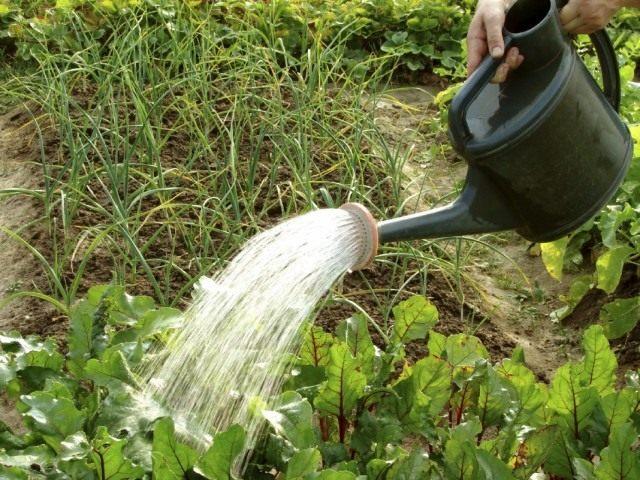 Поверхностный полив огорода из лейки