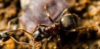 Чёрный садовый муравей, или чёрный лазий (Lasius niger)
