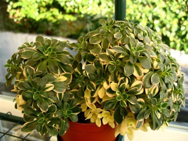 Эониум домашний пёстролистный (Aeonium domesticum variegatum)