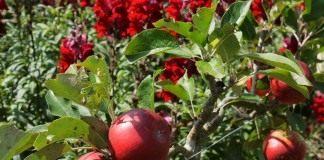 Яблоки на молодой яблоне