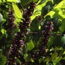 Аморфа голая (Amorpha glabra)