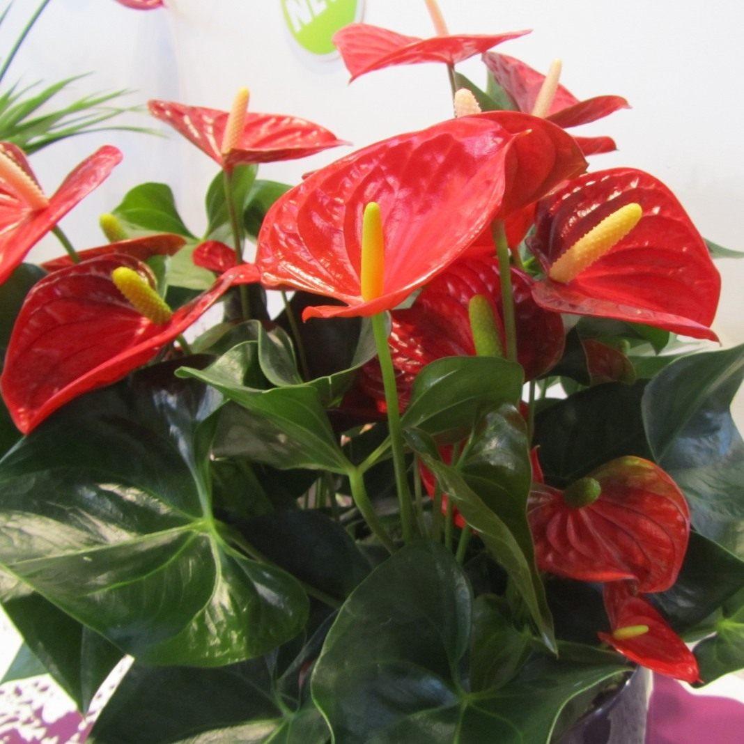 Как вырастить антуриум из семян в домашних условиях