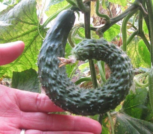 Огурец китайский змеевидный