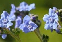 Циноглоссум, или Чернокорень — голубое сияние