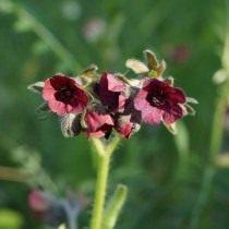 Чернокорень горный (Cynoglossum montanum)