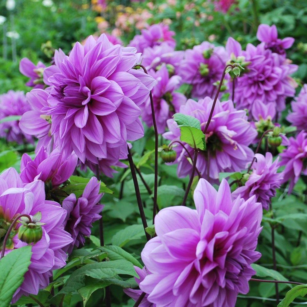 Dahlia-Lilac-Time-1