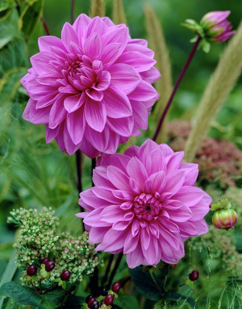 Dahlia-Lilac-Time-2