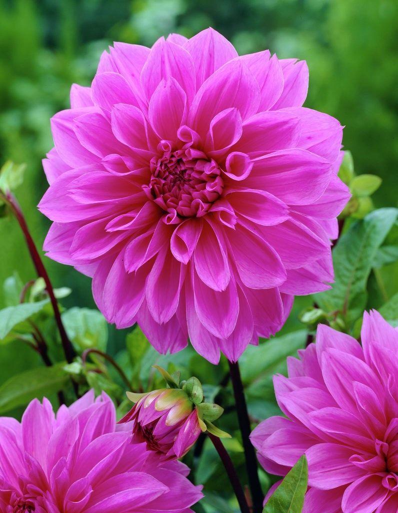 Dahlia-Lilac-Time-3