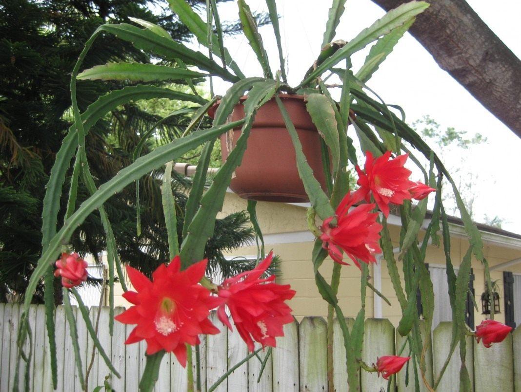 Апорокактус: советы по выращиванию и уходу