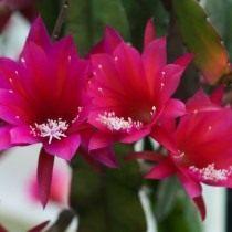 Дизокактус Эихламии или Эйхламии (Disocactus eichlamii)