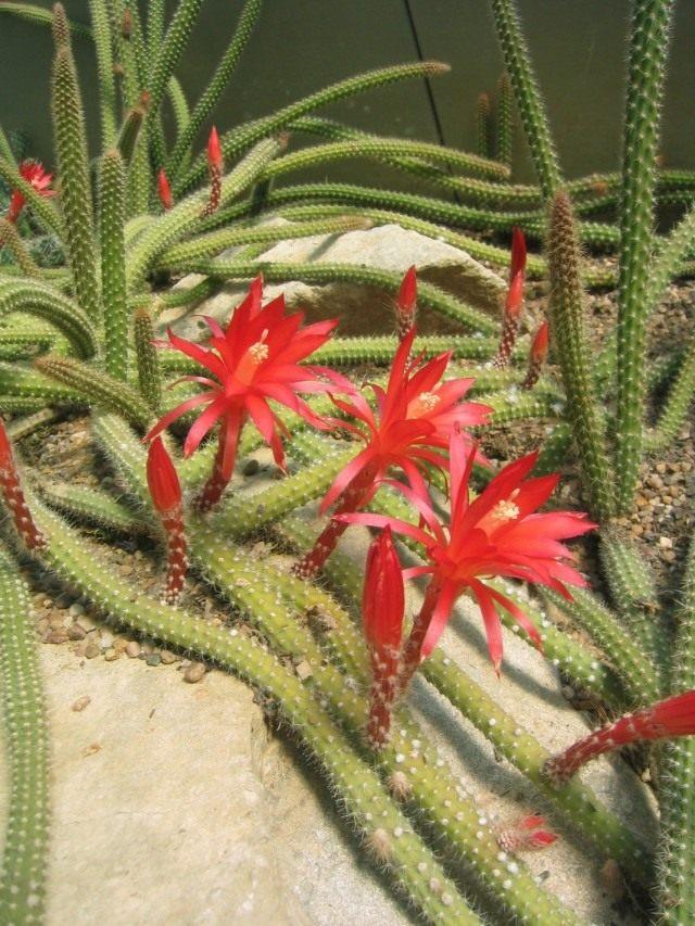 Дизокактус Мартиуса (Disocactus martianus, раньше известный как два вида - апорокактус Концатти - Aporocactus conzattii и апорокактус Мартиуса (Aporocactus martianus)