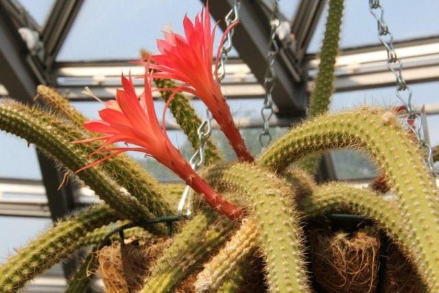 Дизокактус Мартиуса (Disocactus martianus)