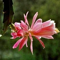 Дизокактус филансодиус (Disocactus phyllanthoides)