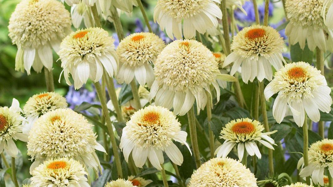 Echinacea-purpurea-Milkshake-2