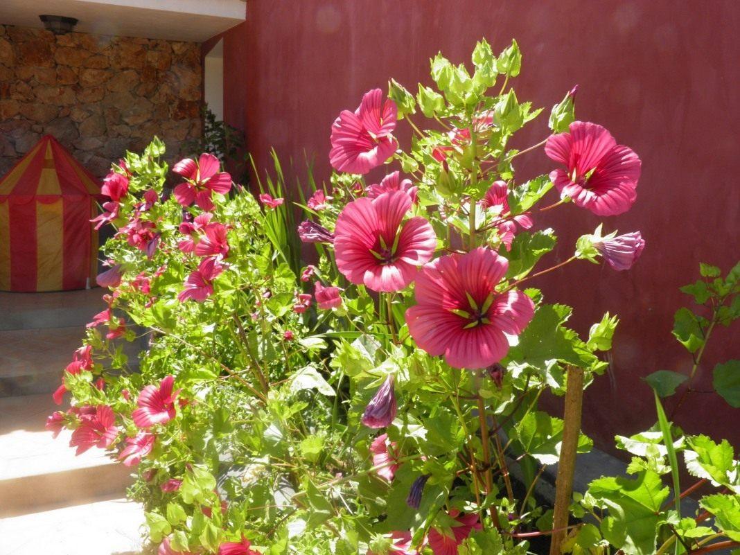Цветы малопа выращивание 33
