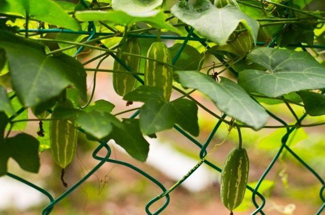 Мелотрия шершавая (Melothria scabra)