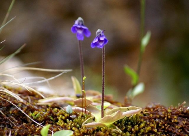 Жирянка обыкновенная (Pinguicula vulgaris)